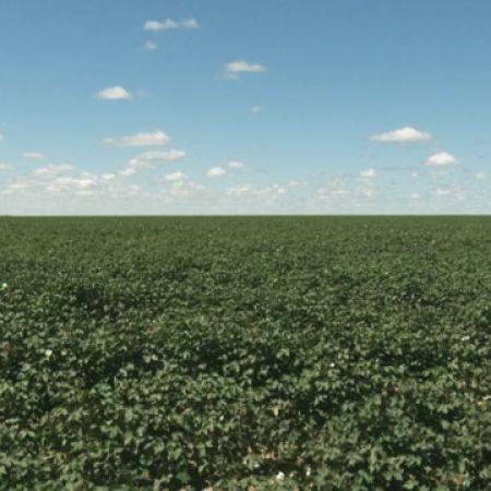 fotos de algodão - LEM e São desiderio - oeste da bahia