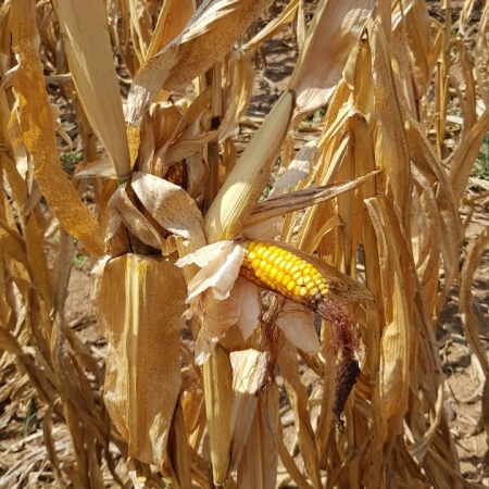 Perdas lavouras milho e soja RS Cotribá
