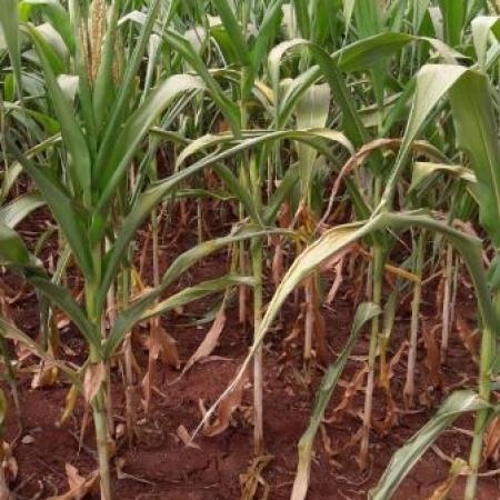 Noroeste do Paraná sofre com a falta de chuvas e milho safrinha já contabilizam perdas significativas e irreversíveis, calcula-se perdas acima se 30%. Envio de Frank Teixeira