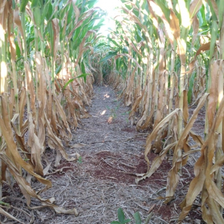 lavouras de milho na região de Capanema/PR | Foto: Rafael Maldaner