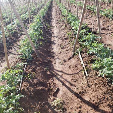 Lavouras de tomate na região de Campinas Envio de Marcos Ravagnani