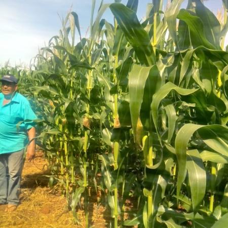 Cultura do milho pendoando do produtor Sr. Donizete Moura em Aral Moreira (MS) - Suzana