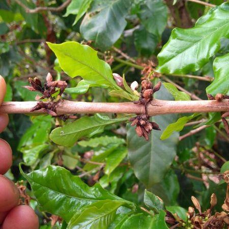 Florada do café secando em Guapé (MG) - Foto: Luciano Dutra
