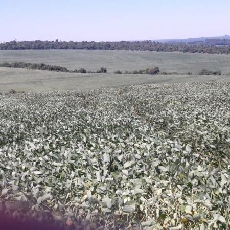 Lavouras de soja em Toledo/PR Safra 2018/19