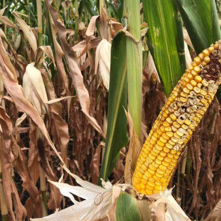 Safra de milho e soja no Canadá - Valério Mattei