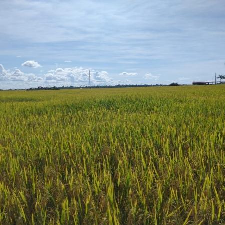 Início colheita de arroz em Pimenteiras do Oeste (RO) - Mário José Milani