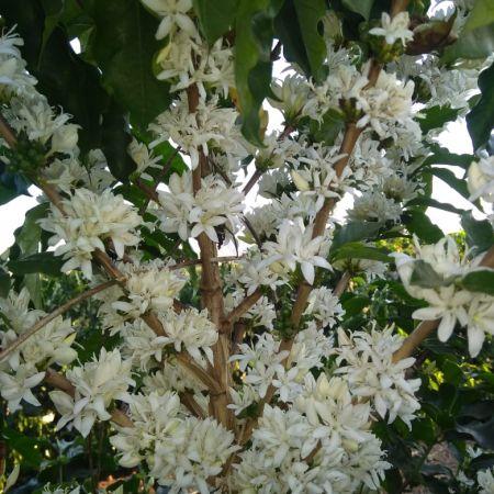 Florada do café em Carmo do Rio Claro (MG) - Foto: Roberto Ticoulat/ Reprodução Redes Sociais