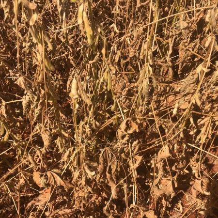 Soja sofrendo com a seca em Cristalina/GO - 2018/19