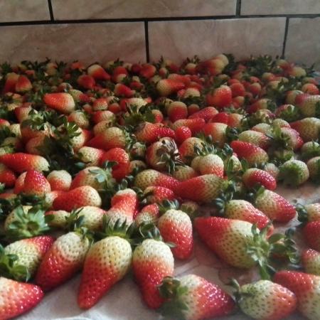 Produção de morangos da variedade Albion do Chile, em Itainópolis (SC). Envio de Paulo Marcelo Adamek