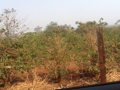 Cafezais sofrem com a seca em Guaranésia. Imagem enviada pela vice-presidente do Sindicato Rural do município, Christina Ribeiro do Valle.