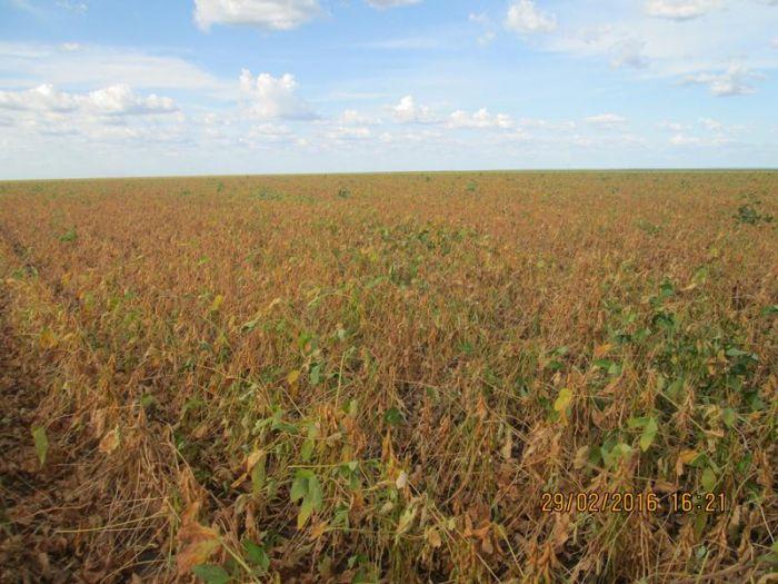 Lavouras de soja em Uruçuí (PI). Imagens registradas no dia 29 de fevereiro. Envio de Altair Fianco