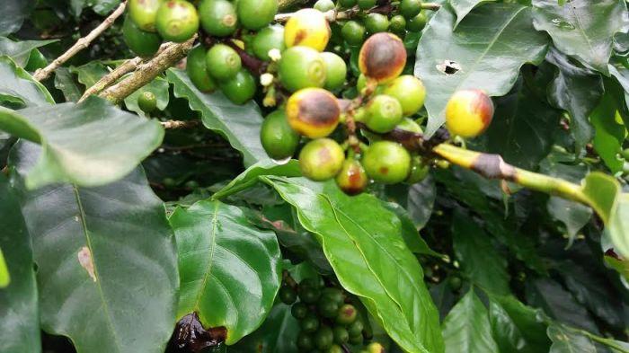 Imagem do dia - Café novo com manchas de cercospora, em Minas Gerais. Envio de Fernando Barbosa