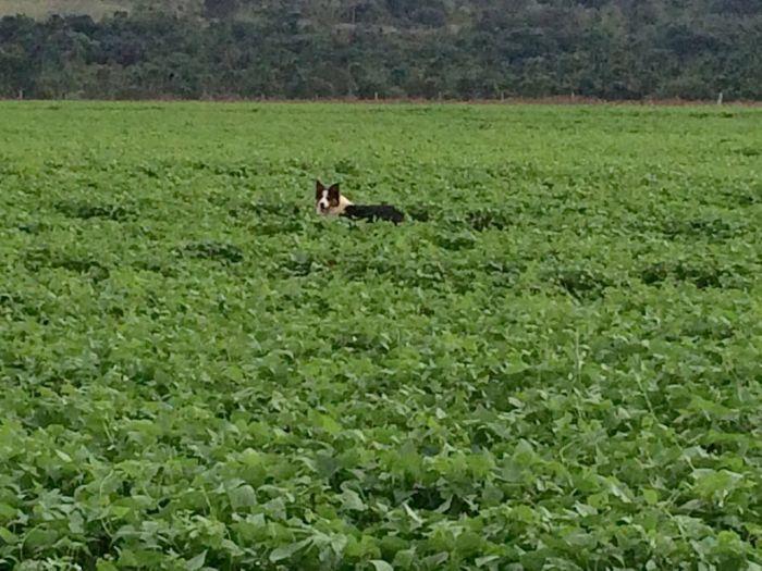 Imagens do dia - Feijão irrigado em Cassilândia (MS), 60 dias de plantio