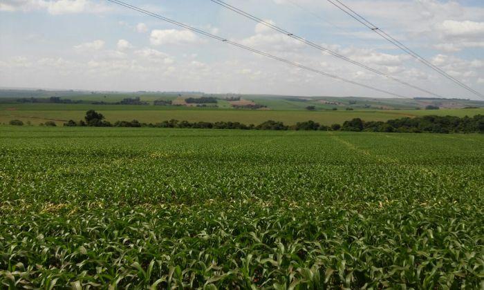 Imagem do Dia - Lavoura de milho safrinha em Santo Antônio da Platina (PR), do produtor Luiz Claudio Rosa