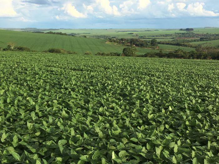 Soja em pleno enchimento de grãos na Fazenda Modelo em Jatai (GO). Envio de Carlos Henrique Bento