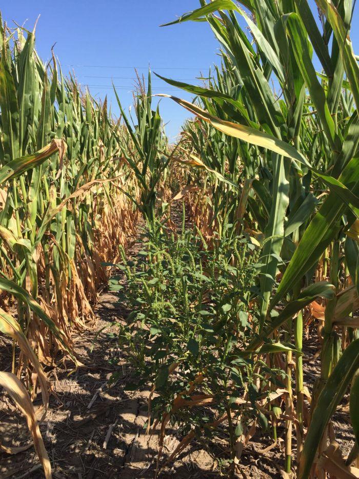 Lavoura de milho em Nebraska, nos EUA. Envio de Gabriel Rodriguez da Fintec Group