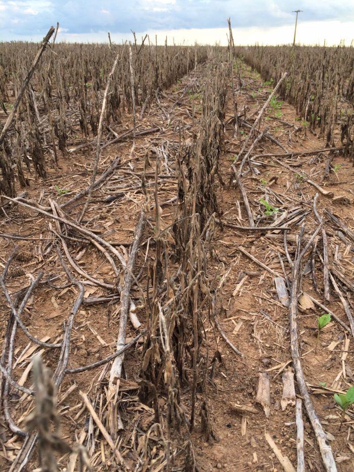 Imagem do Dia - Áreas de soja dessecadas em Ipiranga do Norte e Vera/MT com perdas de até 100% - Enviado pelo produtor Gilberto Peruzi