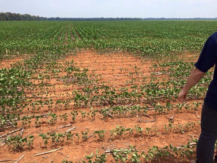 Imagem do dia - Lavoura de soja em Sorriso (MT), morrendo pela falta de chuvas. Enviado por Matheus Cerutti