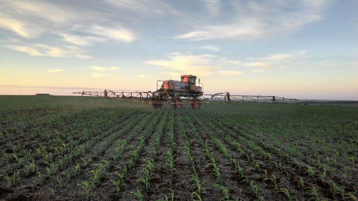 Imagem do Dia - Lavoura de milho em Ponta Porã (MS), envio do Engenheiro Agrônomo da Cooperativa Lar