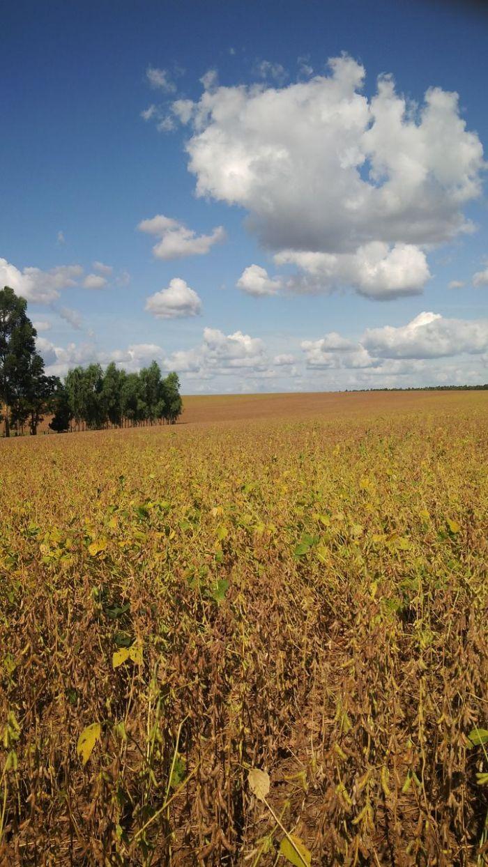 Imagem do Dia - Soja safrinha no Paraguai, do produtor Luiz Gentil Pastore
