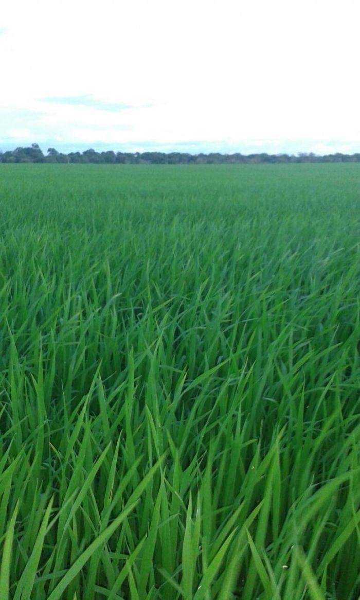 Imagens do dia - Lavoura de arroz irrigado do estado de Roraima, cidade de Normandia. Proprietário Genor Luiz Faccio