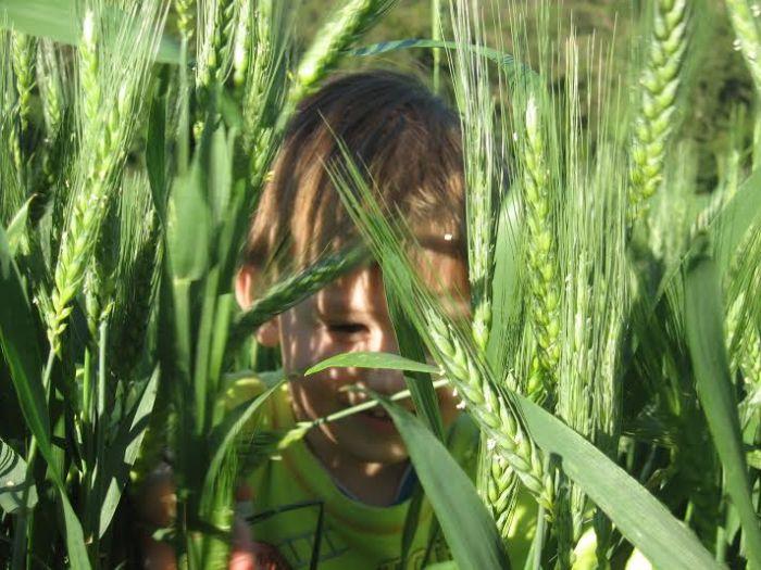 Imagem do dia - Murilo verifica os fungos nas lavouras de trigo na região de Mariópolis (PR). Envio de Claudio Cesar Simionato