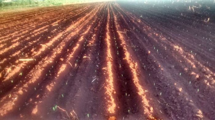 Imagem do dia - Lavoura de milho safrinha em São Miguel do Iguaçu (PR), do produtor Enio Scariot