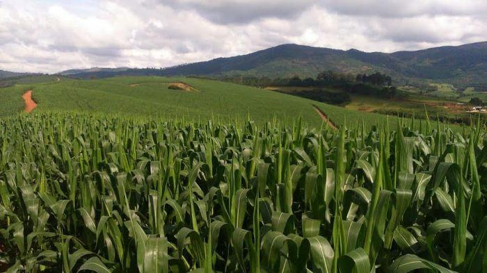 Imagem do dia - Milho safrinha na região de Carmo de Minas (MG). Envio de Vlamir Leggieri
