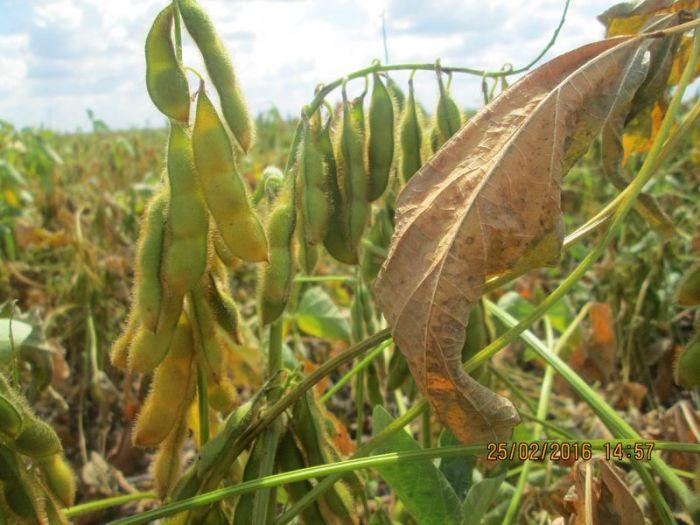 Lavouras de soja em Uruçuí (PI). Imagens registradas no dia 25 de fevereiro. Envio de Altair Fianco
