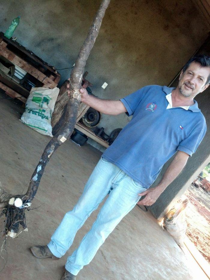 Imagem do Dia - Mandioquinha em Bonito (MS), na Fazenda São Miguel