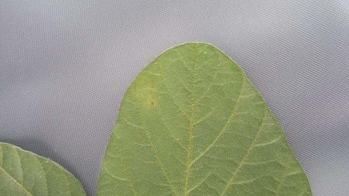 Imagem do dia - Foco de ferrugem asiática encontrada na lavoura de soja em Balsas (MA)