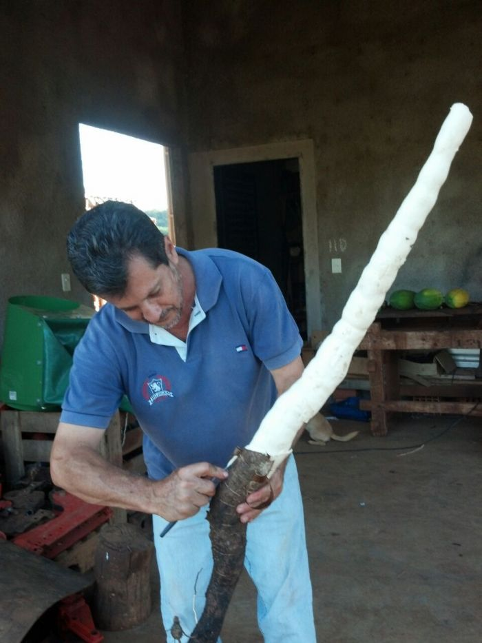 Imagens do Dia - Mandioquinha em Bonito (MS), na Fazenda São Miguel