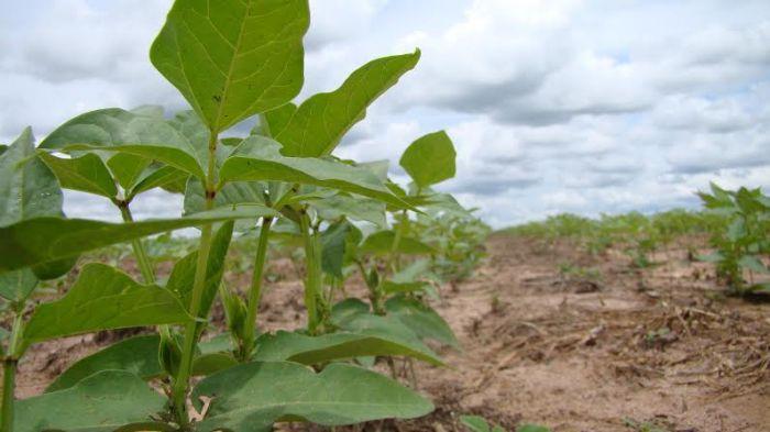 Imagem do dia - Lavoura de feijão caupi em Jaborandi (BA). Envio do engenheiro agrônomo Armando Ayres de Araujo