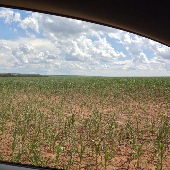Imagens do dia - Lavoura de milho na Fazenda Bento Gonçalves, em Primavera do Leste (MT). Envio de Gabriel Batista