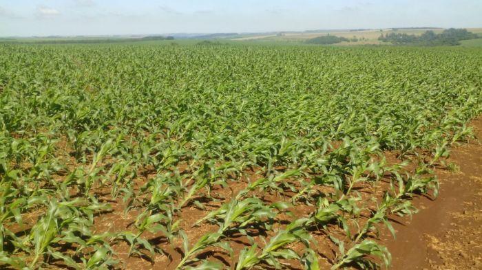 Imagem do dia - Lavoura de milho em Toledo (PR), após ventos fortes na região