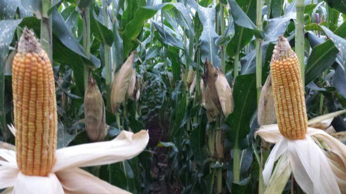 Imagem do Dia - Lavoura de milho em Primavera do Leste (MT) , do produtor Marcos Antonio Juraski