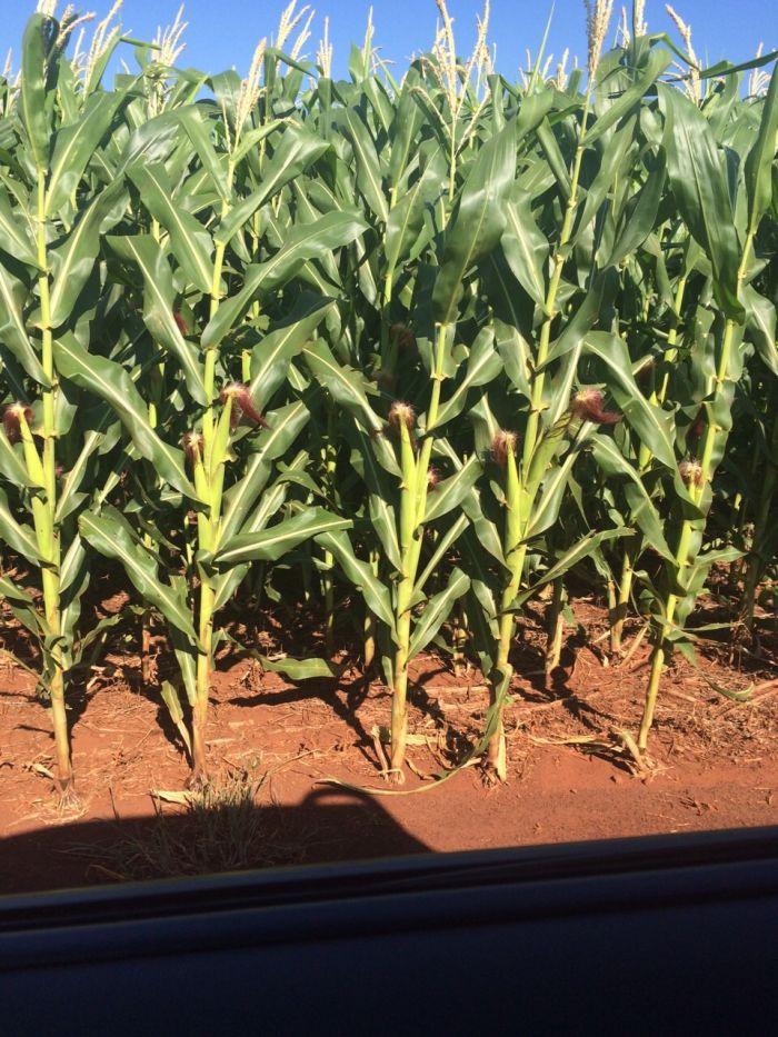 Imagem do dia - Plantação de milho em Juranda (PR), da família Fabricio.