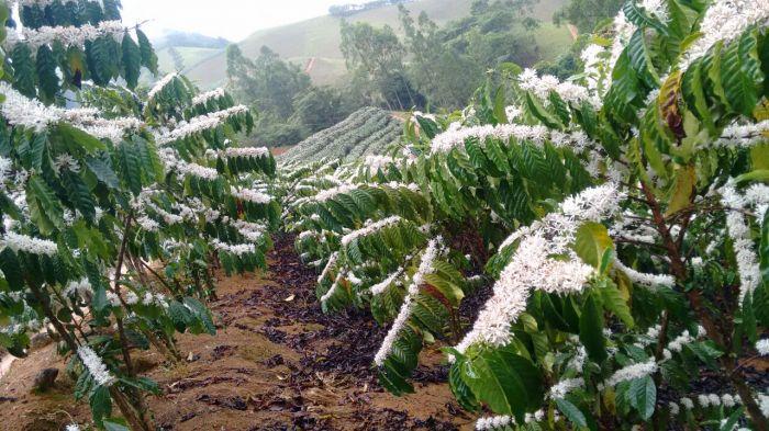 Florada do café conilon em Iconha, Espírito Santo - Foto: Reprodução/Redes Sociais