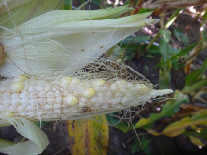 Mollicute nas lavouras de milho no Oeste da Bahia