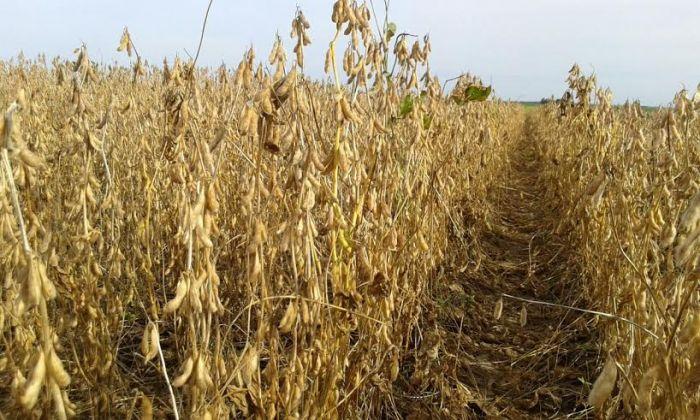 Imagem do dia - Lavoura de soja da propriedade da Família Prigol, em Tapurah (MT). Imagem enviada pelo economista, Marcelo Brondani