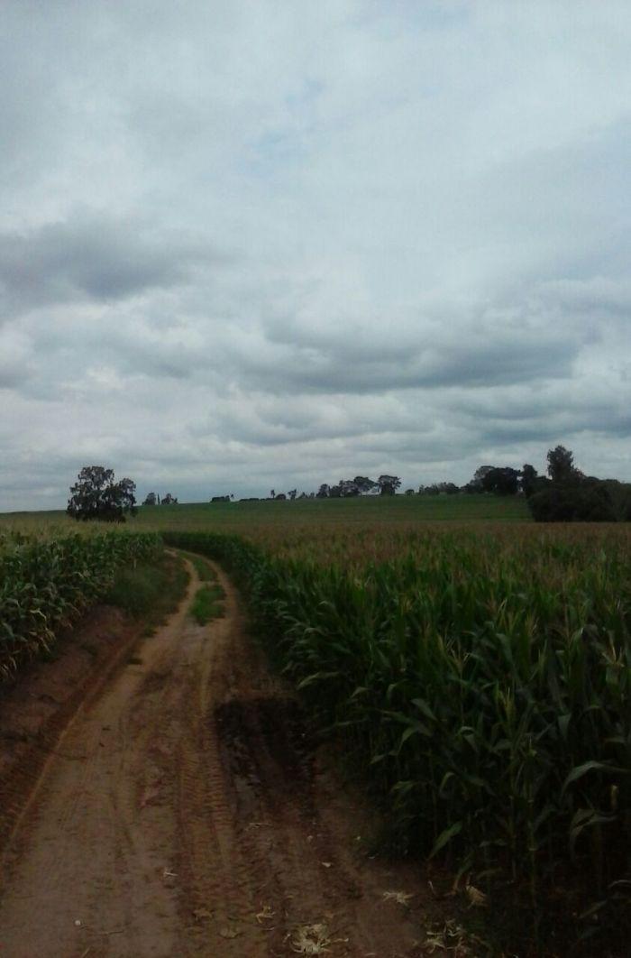 Imagem do Dia - Milho safrinha em Pirassununga (SP), no Sítio Manika, da família Capodifoglio