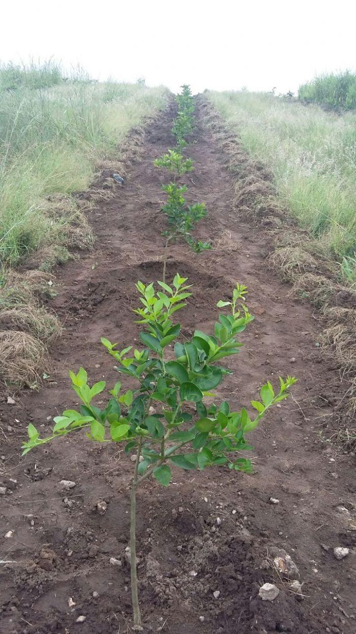 Imagens do dia - Primeiras mudas de citrus na Angola, na África. Envio de José Amaro