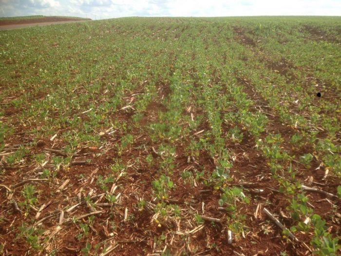 Falha no plantio da soja no Noroeste do Paraná