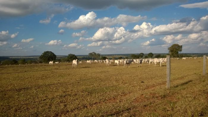 Imagens do dia - Pastagem e gado em Jataí (GO). Envio do engenheiro agrônomo Hildo Antônio