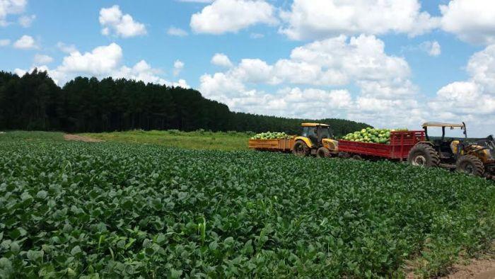 Colheita da melancia na região de Paula de Freitas (PR). Foto do produtor rural, Thiago Bodner.