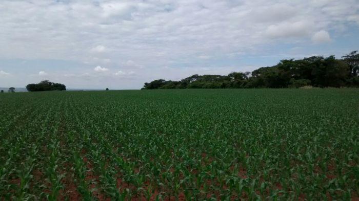 Imagem do Dia - Lavoura de milho safrinho no Sítio Diogana em Araçatuba (SP), dos proprietários Dorival e Diogo Sabiao