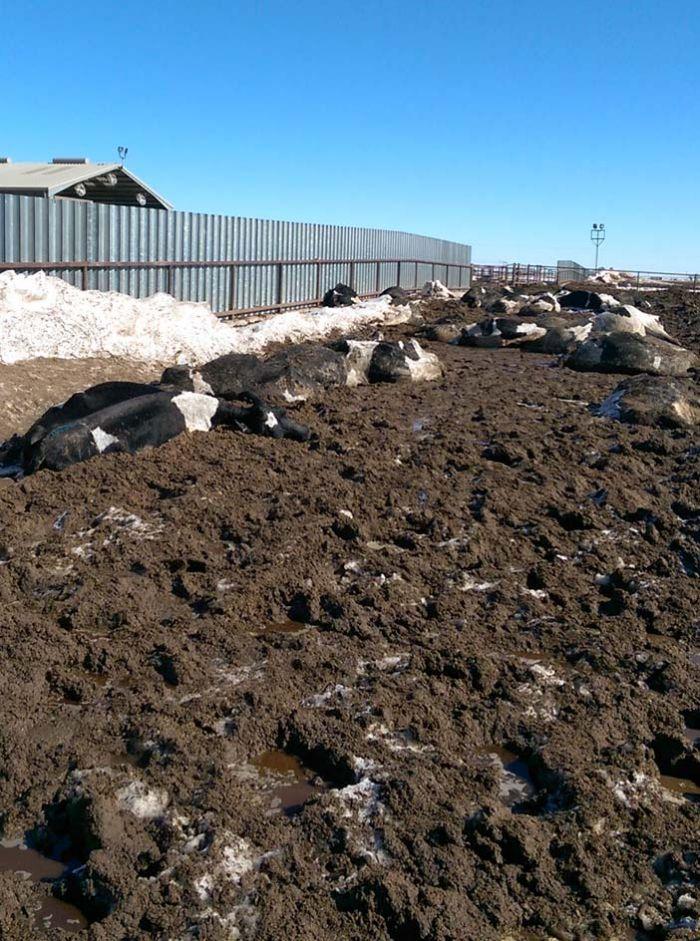 Morte de gado nos EUA - 10/02/2016 - Fernanda Bellei