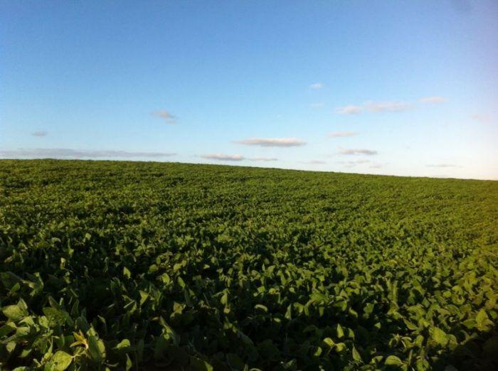 Lavouras de soja em floração na região de São Francisco de Paula (RS). Imagem do produtor rural, Adans Bertolini.