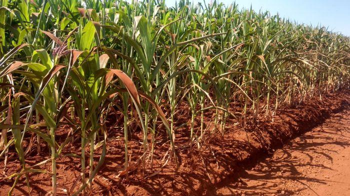 Milho safrinha sofrendo com a seca em Jataizinho (PR). Envio de Gustavo Munhoz