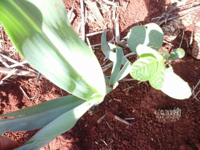 Imagem do dia - Lagarta nas lavouras de milho em Laguna Carapã (MS). Foto do técnico agrícola da Bio Rural, Antônio Rodrigues Neto